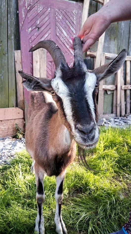 Koza zje wszystko ⋆ Gabinet Weterynaryjny OSTOJA w Zawoni